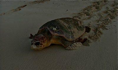 loggerhead-turtle-4331