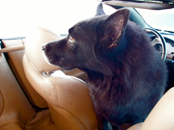 Shivvy loves to travel. My leather seats beat any ol' kennek anytime!